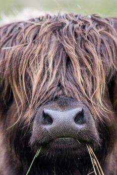 Highland Cow, Isle of Harris.