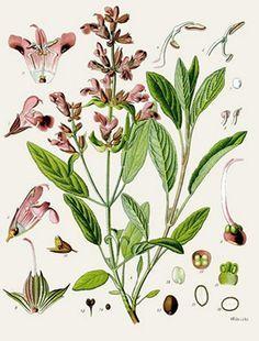 Sauge (Salvia officinalis)| Remèdes de Grand-Mère
