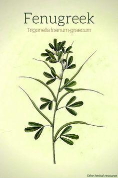 The Herb Fenugreek (Trigonella foenum-graecum)