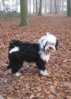 Tibetan terrier black and white dress