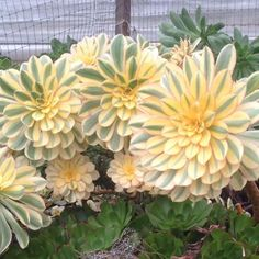 Grow Aeonium 'Sunburst' for its large (dinner plate sized) gorgeous rosettes of variegated light green and cream foliage on long, bare stems. In full sun, the l