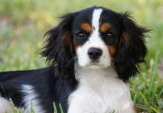 Cavalier King Charles Spaniel Puppies For Sale - AKC PuppyFinder