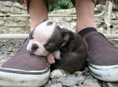 Cute Boston Terrier Puppy Sleeping on Shoes