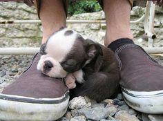 Cute Boston Terrier Puppy Sleeping on Shoes - http://www.bterrier.com/cute-boston-terrier-puppy-sleeping-on-shoes/ https://www.facebook.com/bterrierdogs