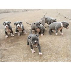 Blue pit bull puppys