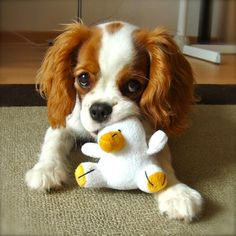 More About Smart Cavalier King Charles Spaniel Temperament King Charles Puppy, Cavalier King Charles Dog, Kittens And Puppies, Cute Puppies, Cute Dogs, Puppies Puppies, Spaniels For Sale, Cavalier King Spaniel, Spaniel Puppies