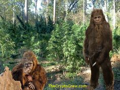 Bigfoot smoking a joint? Does Bigfoot have a liking to pot? Some reports suggest it does. http://www.thecryptocrew.com/2014/04/marijuana-and-bigfoot-does-bigfoot-like.html