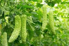 Bitter melon is a plant for vegetable garden with deeply lobed leaves and fruit. Tips for growing bitter melon in the vegetable garden is to soak the seeds before planting.