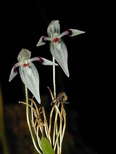 Miniature-orchid / Micro-orquidea: Pleurothallis aspergillum - Found in Colombia and Ecuador in cloud forests at elevations of 750 to 800 meters as a miniature-sized, deciduous-leafed, hot to cool-growing epiphyte.