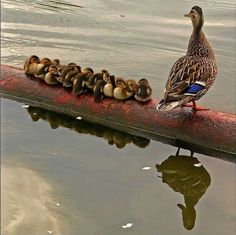 Mommy with her babies in a row.