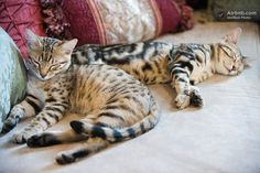 Bengal Kitten's Country B & B - Bengal Cats And Kittens In Fallbrook, Ca.
