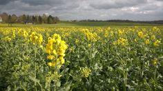 Aufkommende Rapsblüte als Honig Tracht im zeitigen Frühjahr