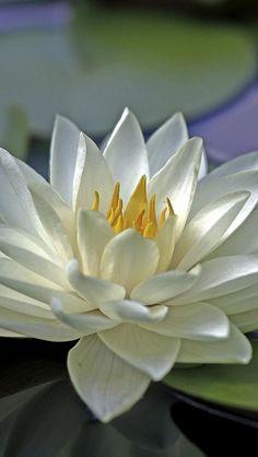 water_lily_water_leaves_surface_52731_640x1136   相片擁有者 vadaka1986