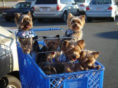Yorkshire Terrier shopping day!