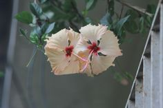 Outro hibisco