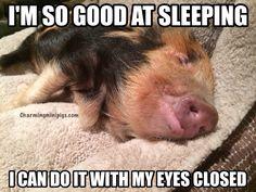 Chloe the Kune Kune piglet  Charming Mini Pigs