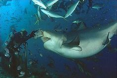 bull shark - Google Search