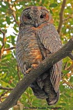 Mottled Wood Owl (Strix ocellata) Lucknow, India by Kumar Nishith