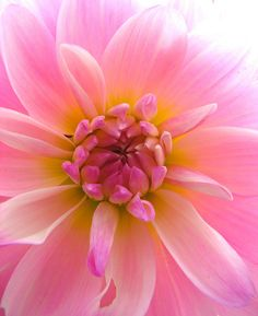 Pink Dahlia v/Flickr. Flower
