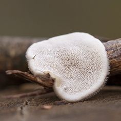 A little one from last November draped over a twig #mushroom #mycology #fungi #fungus #paddenstoelen #natuur #macro #microworld #netherlands #macro_vision #Macro_Perfection #pocket_macro #macro_mood #macro_brilliance #igbest_macros #mcc_shrooms