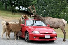 VA, Natural Bridge - Safari drive park