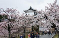 Si le château est souvent cité comme une visite quasi incontournable de tout séjour à Kanazawa, son intérêt nous semble pourtant bien mesuré. Situé au sein du triptyque géographique formé avec le jardin Kenroku-en et... Kanazawa, Sakura, Comme, Everything, Public Garden, Triptych, Breast, Beautiful Gardens, Park