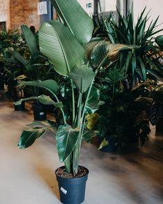 Our plant baby bought at Bergamotte Visit Bristol, Paradise Plant, Travel Design, Travel Around, House Plants, Pop Up, Lifestyle, Simple, Nature