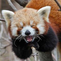 Laughing Red Panda so freakin adorable!!!