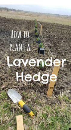 Container Gardening For Beginners How to plant a lavender hedge for a garden windbreak Culture D'herbes, Pot Jardin, Organic Gardening Tips, Vegetable Gardening, Planting Vegetables, Gardening For Beginners, Garden Planning, Party Planning, Lawn And Garden