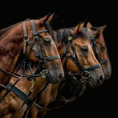 Look at these beautiful animals, awaiting there orders, aiming to please, there … - Happy Tiere Most Beautiful Horses, All The Pretty Horses, Animals Beautiful, Big Horses, Horse Love, Horse Photos, Horse Pictures, Photo Animaliere, Majestic Horse