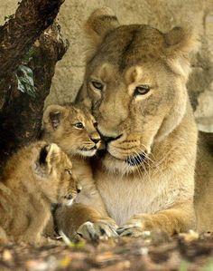 Chicago Tribune - Photos: Cute baby animals and their moms lioness Cute Baby Animals, Animals And Pets, Funny Animals, Mom Pictures, Animal Pictures, Beautiful Cats, Animals Beautiful, Lioness And Cubs, Gato Grande