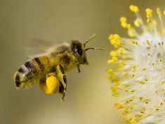 Photo about A Bee hovering while collecting pollen from Willow blossom. Hairs on Bee are covered in yellow pollen as are it s legs. Image of honey, gathering, stamen - 2250640 How To Kill Bees, Le Pollen, Worker Bee, Buy Honey, Seasonal Allergies, Pet Allergies, Save The Bees, Mundo Animal, Bee Keeping