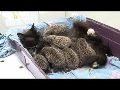 Keys for Kids Radio - 24/7 Streaming Music and Audio Drama for Kids! - Momma Cat Adopts EIGHT Hedgehog Babies!