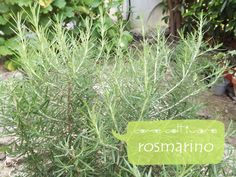 Come coltivare il rosmarino how to grow rosemary