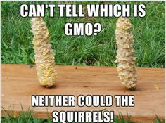 Can't tell whis is GMO? Neither coulf the squirrels! Credit: ??