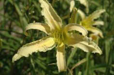 """BONIBRAE String Cheese (seedling x seedling) dip, dor., 7"""", 32"""", 15 BC, M, 3-way br; spider; Skinny lemon yellow flower with nicely fluted e..."""