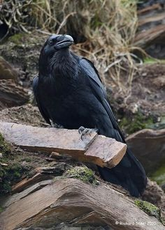 Crows Raven:  #Crow.