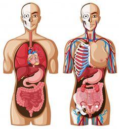 Human Anatomy Model, Human Skeleton Anatomy, Anatomy Models, Anatomy Drawing, Anatomy Art, Heart Anatomy, Illustrations Médicales, Human Digestive System, Human Human