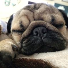 One more #tbt of a very sleepy puppy ready for dreamie land  let's all bring our baby photos to dreamie land and fall asleep listening to lullabies Godnat my special big brother Joey @joeyandgittewest4 Doug @doug.the.pug Arnie @arniespuglife Frank @frank_being_a_pug Carlos and Pablo @miss.carlino_and.pugs Alfie and Suzie @themacpugs Alphie and Teddy @alphie.and.teddy.pug and Edd and Vinny @eddthepug @pugalicious_vinny  #purepugspp #pug #pugs #pugsofinstagram #pugbasement #pugsproud_feature…