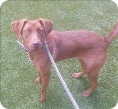 Birmingham, AL - Labrador Retriever Mix. Meet Ginger a Dog for Adoption.