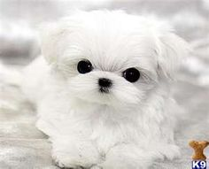 teacup maltese puppy OMG!! How cute tiny and adorible,me want