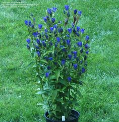 gentiana plants | ... plant habit without needing to be staked. 3 year old plant. Photo