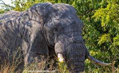 Elephants in Kruger National Park (By www.shakilmedia.com)