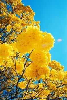 Ipês amarelos