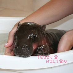 how sad that this lil baby pigmy hippo passed away -- I love hippos.
