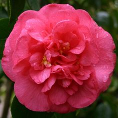 Drama Girl (Camellia Japonica) Recommended for US Gulf Coast by Camelia Garden Field Guide.