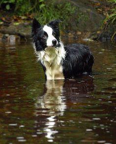 """No ball here!"" #dogs #pets #BorderCollies Facebook.com/sodoggonefunny"