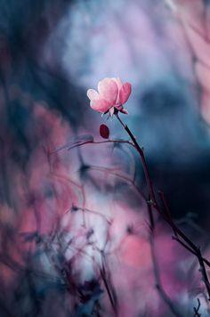 rose by ajkabajka