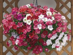 Nuvolari Mix trailing petunia -mix of bright, colorfast flowers in shades of red, purple, salmon, soft pink, and white.