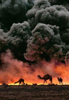 Camels, Al Ahmadi Oil Fields, Kuwait, wartime 1991. // Photo: Steve McCurry